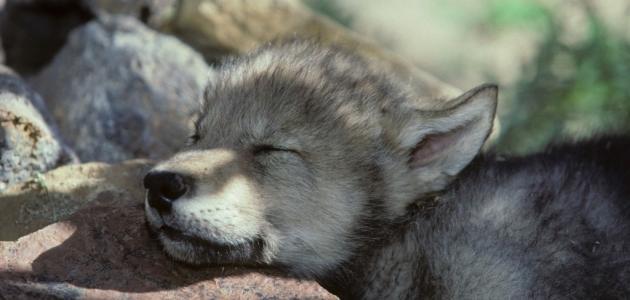 صورة جديد صغير الذئب