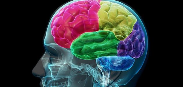 صورة جديد مم يتكون المخ