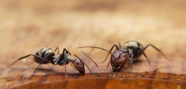 صورة جديد كيف أقضي على النمل الأسود