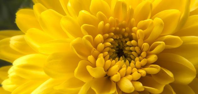 صورة جديد ما هي زهرة الذهب