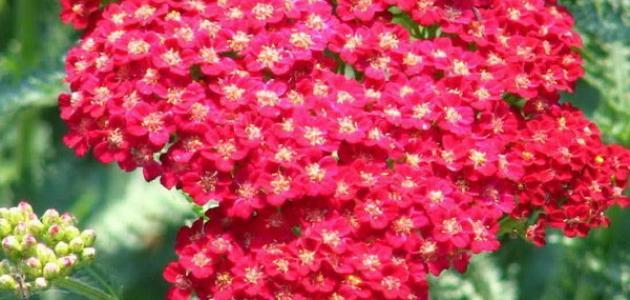 صورة جديد تصنيف النباتات الزهرية