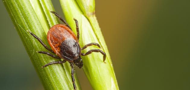 صورة جديد ما هي حشرة القرادة