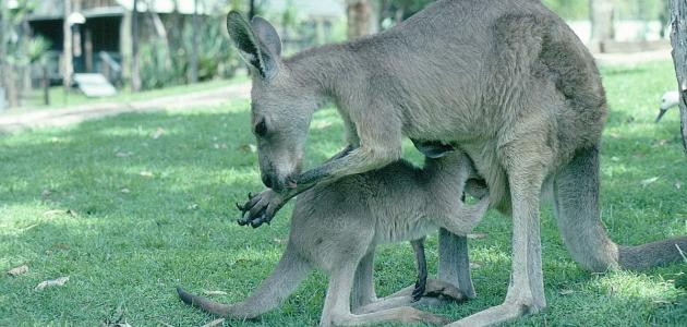 صورة جديد معلومات عن حيوان الكنغر