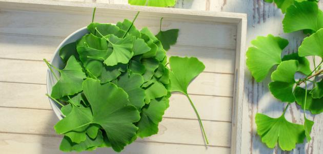 صورة جديد فوائد عشبة جنكو بيلوبا