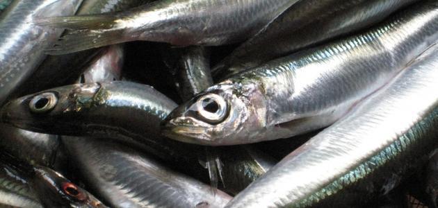 صورة جديد فوائد سمك السردين