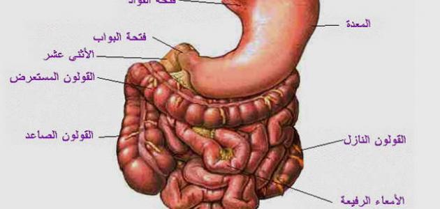 صورة جديد أعضاء الجهاز الهضمي