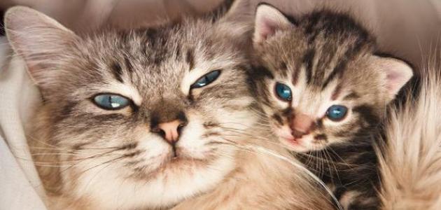 صورة جديد كم هي فترة حمل القطط