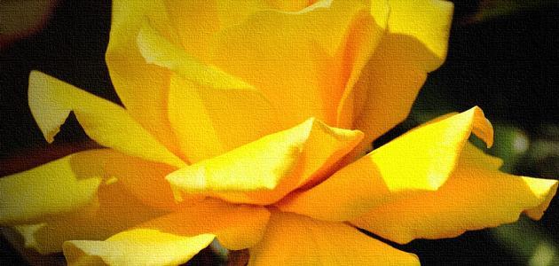 صورة جديد ما معنى الوردة الصفراء