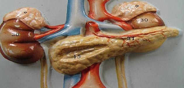 صورة جديد لماذا سميت الغدد الصماء بهذا الاسم