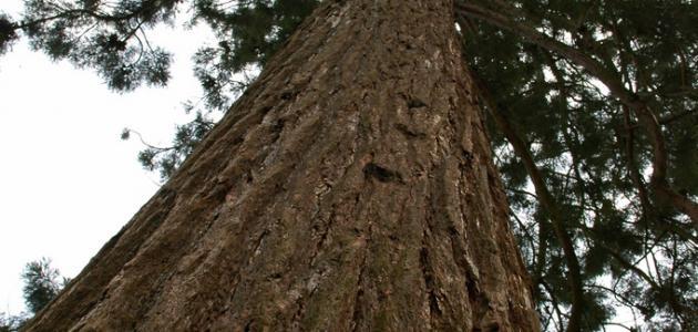 صورة جديد أضخم شجرة في العالم