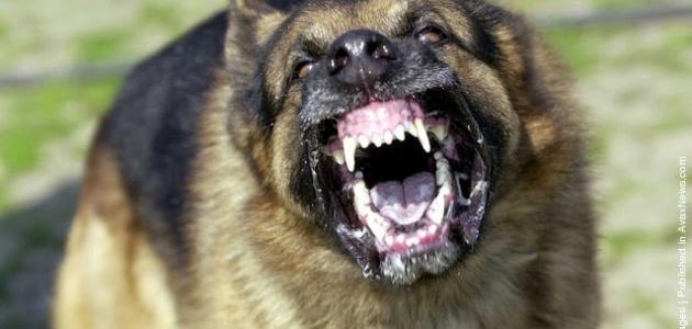 صورة جديد أنواع الكلاب الشرسة