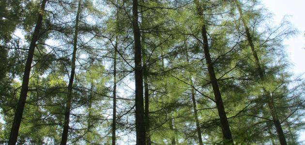 صورة جديد أين تقع أطول شجرة في العالم