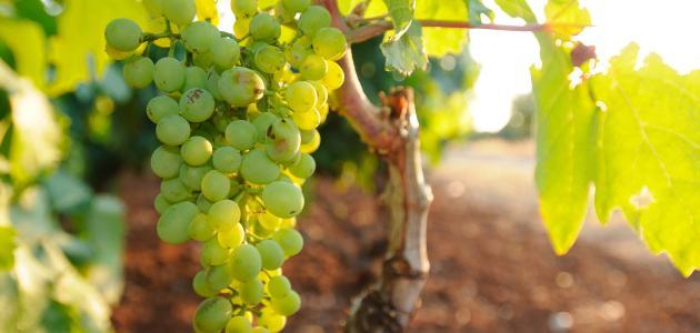 صورة جديد كيفية زراعة العنب