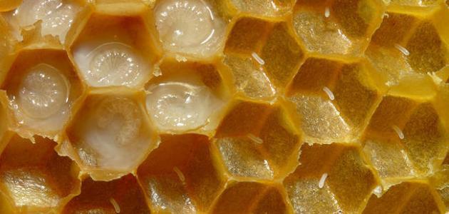 صورة جديد فوائد عسل ملكات النحل