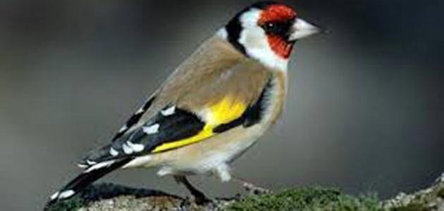 صورة جديد طائر الحسون