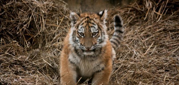 صورة جديد ماذا يسمى صغير النمر