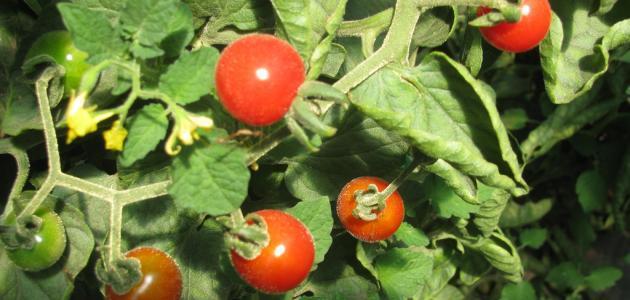 صورة جديد كيف يتم زراعة الطماطم