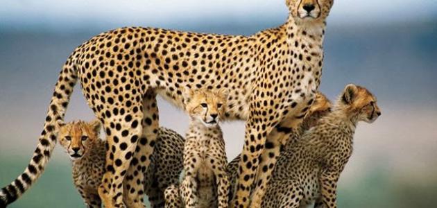 صورة جديد صوت الفهد
