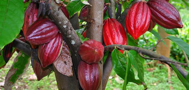 صورة جديد موضوع عن شجرة الكاكاو