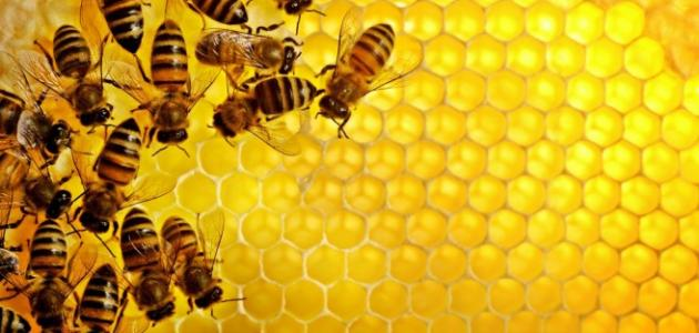 صورة جديد بحث عن النحل وفوائده