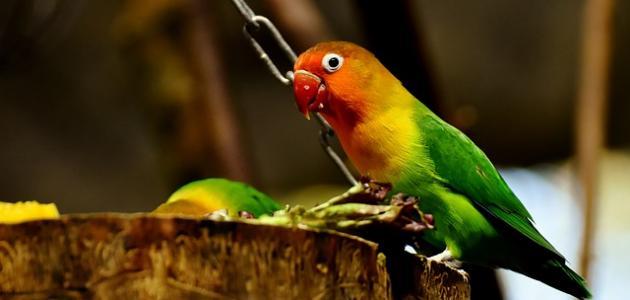 صورة جديد معلومات عن طائر الروز