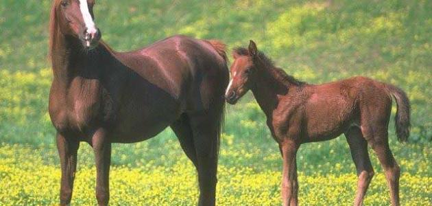 صورة جديد تكاثر الخيول