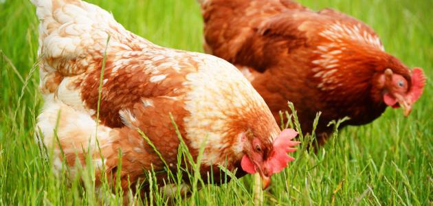 صورة جديد تربية الدجاج البلدي