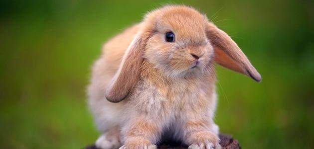 صورة جديد صغير الأرنب