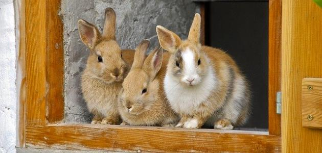 صورة جديد تربية الأرانب في المنزل