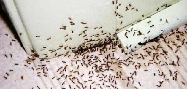 صورة جديد التخلص من النمل نهائياً