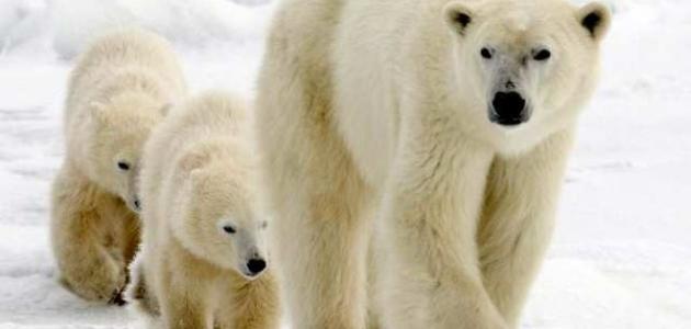 صورة جديد أين يعيش الدب القطبي