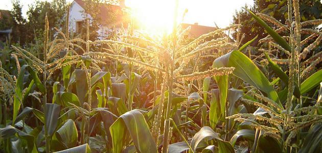 صورة جديد كيفية زراعة الذرة