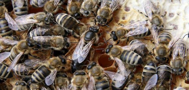 صورة جديد مراحل نمو النحل