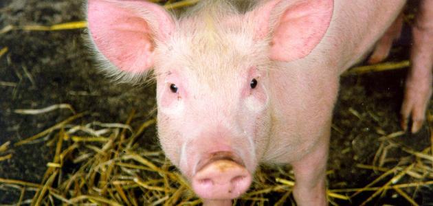 صورة جديد ماذا يأكل الخنزير