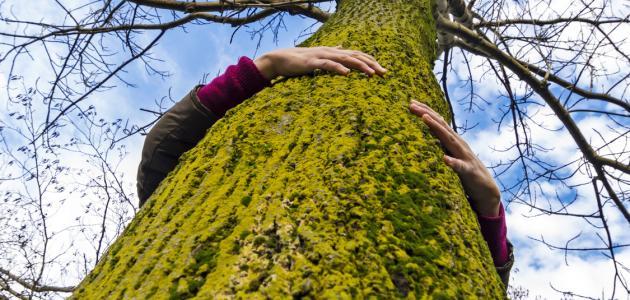 صورة جديد أطول شجرة بالعالم