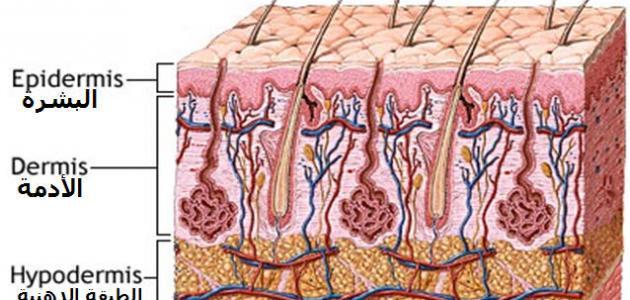 صورة جديد كم عدد طبقات جلد الإنسان