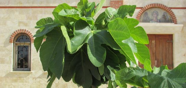صورة جديد كيفية زراعة شجرة التين