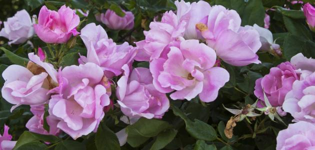 صورة جديد كيف أحافظ على الورد الطبيعي لمدة طويلة