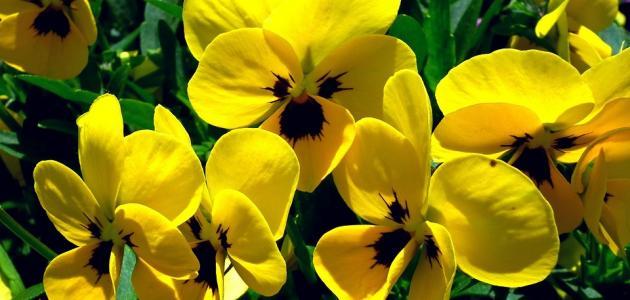 صورة ماذا يعني اللون الأصفر