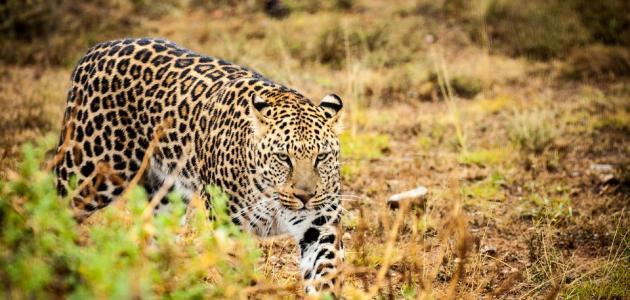 صورة صفات حيوان الفهد