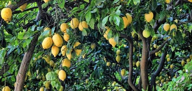 صورة كيف تزرع شجرة الليمون