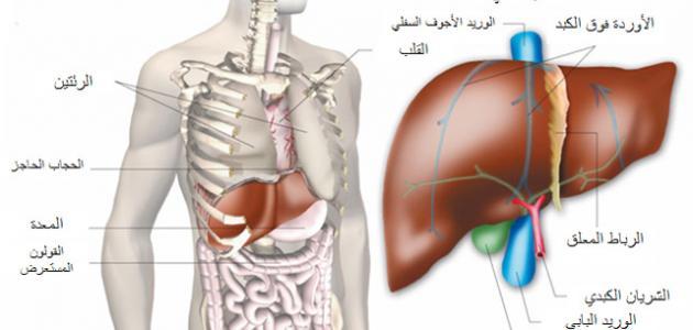 صورة أين يوجد الكبد فى جسم الإنسان