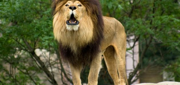 صورة لماذا يسمى الأسد ملك الغابة