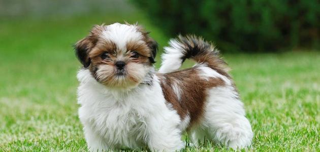 صورة أنواع الكلاب الصغيرة