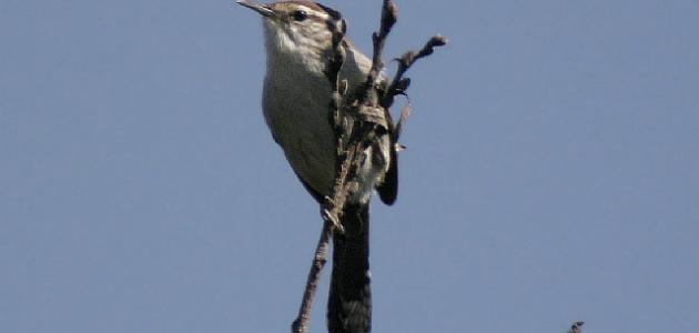 صورة ما هو طائر النمنمة