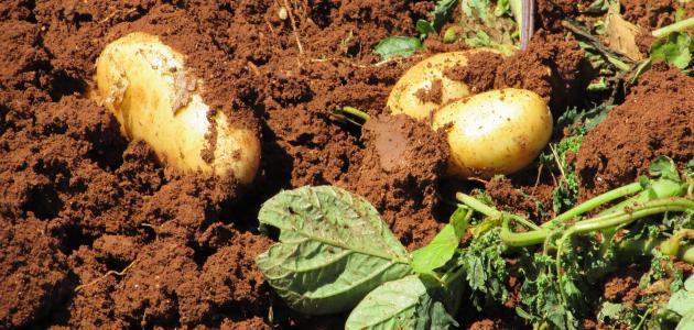 صورة كيف تتم زراعة البطاطس