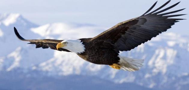 صورة صفات طائر النسر