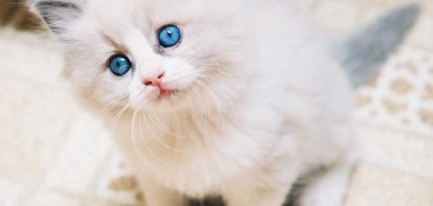 صورة معلومات عن قطط الشيرازي