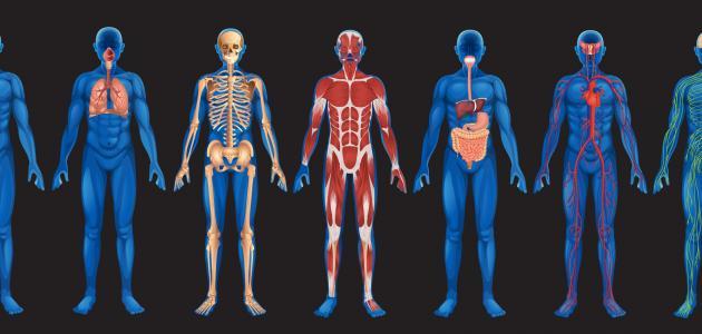 صورة ما هي أعضاء جسم الإنسان