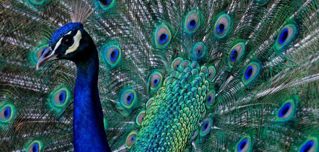 صورة صفات طائر الطاووس